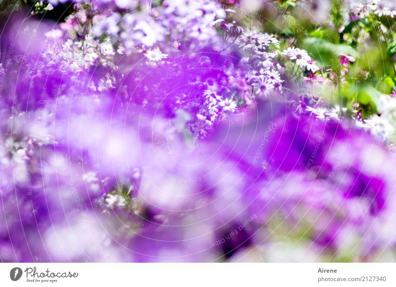 die schönsten Blüten sind lila Garten Blumenbeet Pflanze Sommer Park Blühend Duft frisch violett weiß Begeisterung Romantik Farbe Natur überschüssig