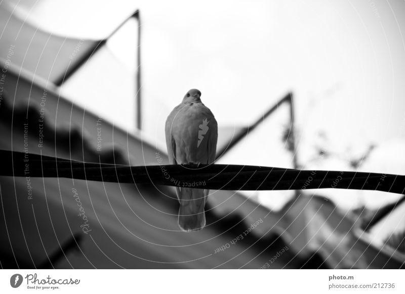 Taube Umwelt Natur Tier 1 Schwarzweißfoto Außenaufnahme Tag Schwache Tiefenschärfe ruhig ausruhend