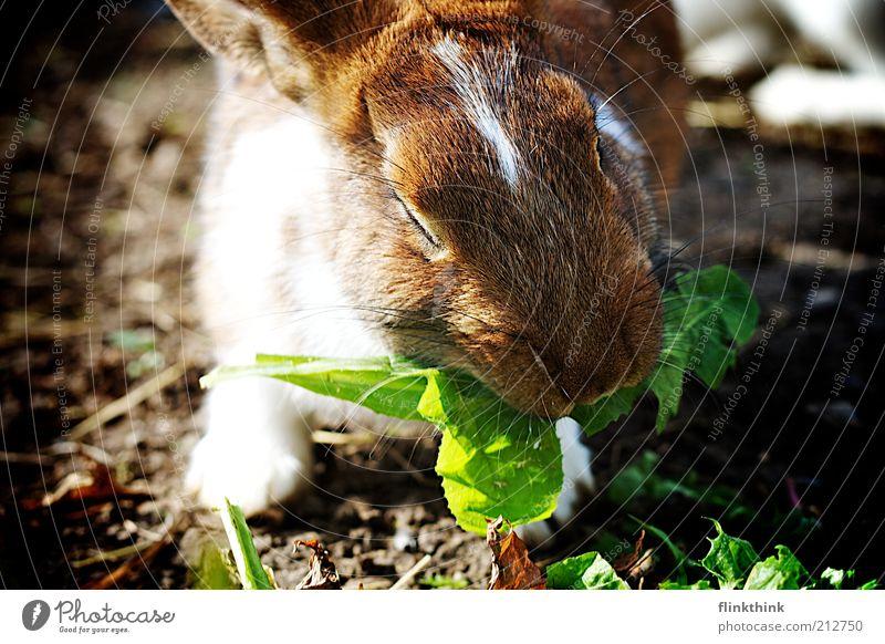 Hase, Jammie! Natur Pflanze grün Tier Umwelt Gras braun Zufriedenheit Erde Ernährung Schönes Wetter Fell Löwenzahn Fressen Hase & Kaninchen füttern