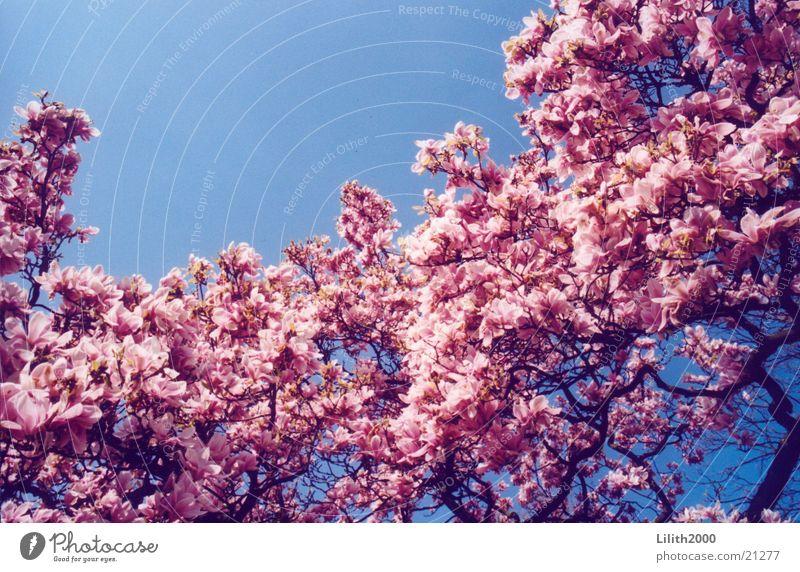 Kirschbaum Blüte Frühling Kirsche Garten Himmel Kirschblüten