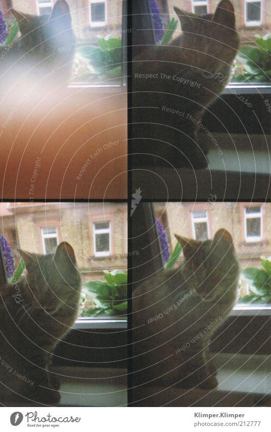 Erschrick dich nicht, Katerchen! Fenster Tier Haustier Katze entdecken hören weich Gefühle Gedeckte Farben Innenaufnahme Tierporträt Blick nach unten Hauskatze