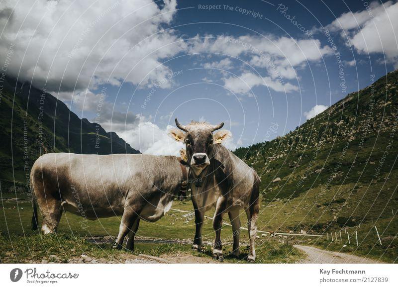 Zwei Kühe auf der Alm Ferien & Urlaub & Reisen Tourismus Ausflug Freiheit Sommerurlaub Landschaft Himmel Schönes Wetter Gras Feld Alpen Tier Nutztier Kuh 2
