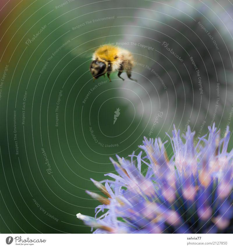Distel Hopping Natur Pflanze Tier Sommer Blume Blüte Wildpflanze Distelblüte Garten Tiergesicht Flügel Hummel Insekt 1 Blühend fliegen blau grün orange Bewegung
