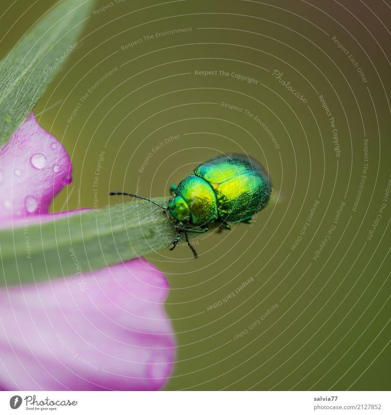 Glanzparade Natur Sommer Pflanze Blume Blüte Garten Tier Käfer Insekt Malvengewächse 1 krabbeln glänzend schön gold grün rosa einzigartig Farbe Leichtigkeit