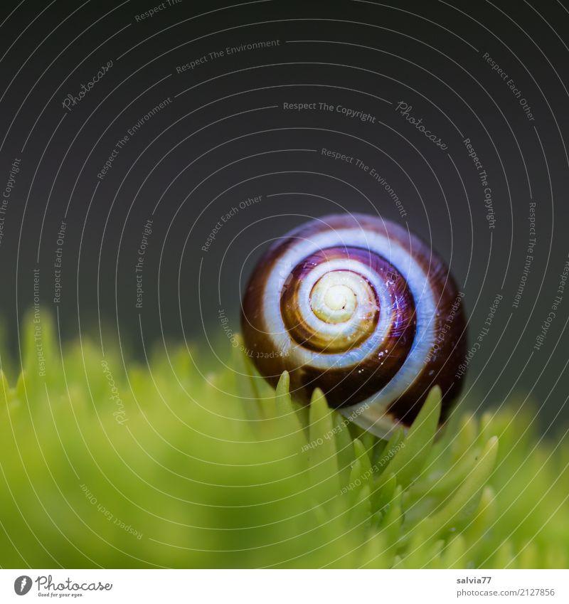 schmuckes Häuschen Umwelt Natur Pflanze Moos Blatt Grünpflanze Fetthenne Tier Schnecke Schneckenhaus positiv rund braun grau grün Design Einsamkeit einzigartig