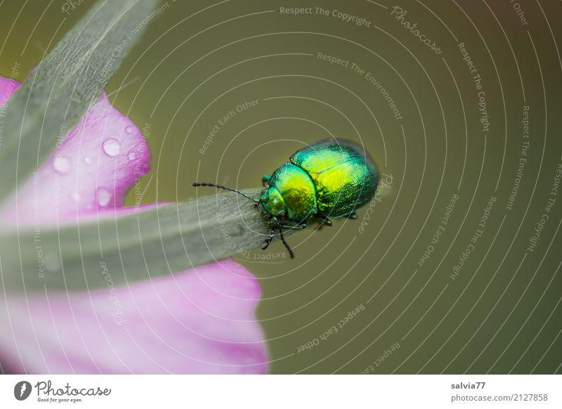 auf Hochglanz poliert Umwelt Natur Pflanze Tier Sommer Blume Blüte Garten Käfer Insekt 1 krabbeln ästhetisch glänzend oben positiv grün rosa einzigartig Farbe