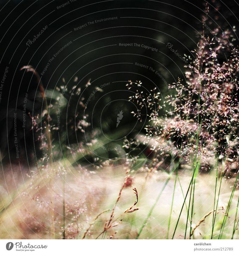 Von Winde verweht... Umwelt Natur Landschaft Pflanze Gras Park Wiese grau grün schwarz leicht Gräserblüte Pollen Halm Vor dunklem Hintergrund zart zartes Grün