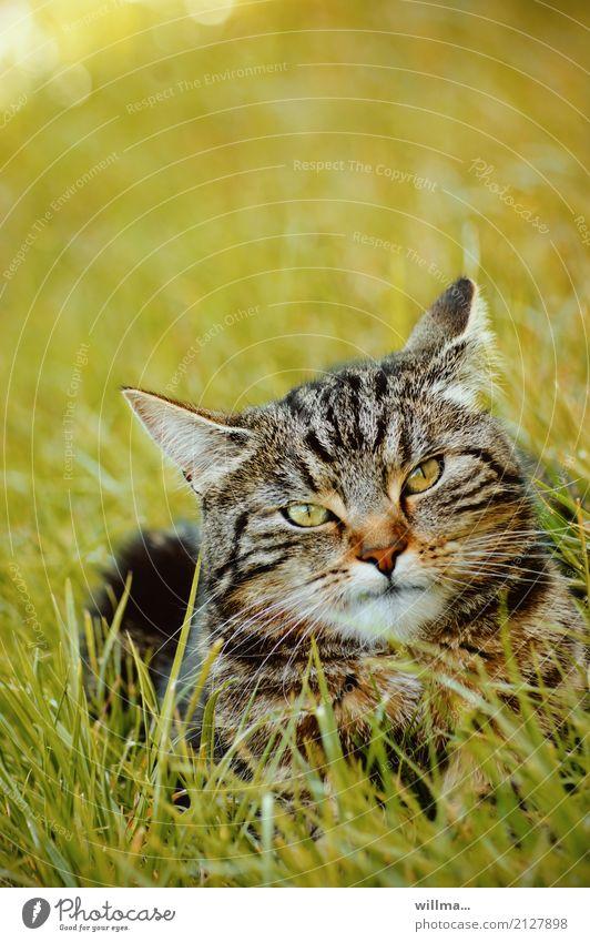 gestreifte Hauskatze im Gras Katze Tier Wiese liegen beobachten Haustier