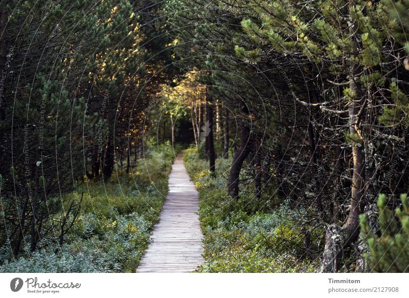 Da lang! Umwelt Natur Pflanze Frühling Wald Wege & Pfade Holz wandern dunkel natürlich braun grün Holzweg Moor Sonnenlicht Schatten Blindensee Farbfoto