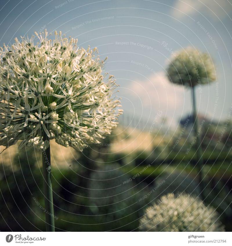 400 * snowballs in summer schön Himmel Blume Pflanze Sommer Wand Blüte Frühling Mauer Park ästhetisch Wachstum rund Sträucher Kugel Stengel
