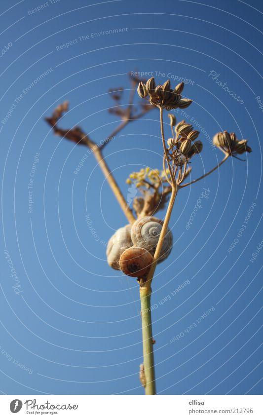 Stau auf dem Weg nach oben Himmel Natur Pflanze Tier Sträucher nah Aussicht Schnecke Blauer Himmel Verkehrsstau Zweige u. Äste Wolkenloser Himmel Einigkeit Schneckenhaus Umwelt