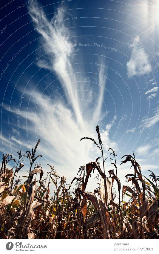 Kukuruz Natur Himmel Wolken Nutzpflanze Feld schön blau Ferne Mais Farbfoto Außenaufnahme Textfreiraum oben Tag Kontrast Sonnenlicht Sonnenstrahlen Gegenlicht