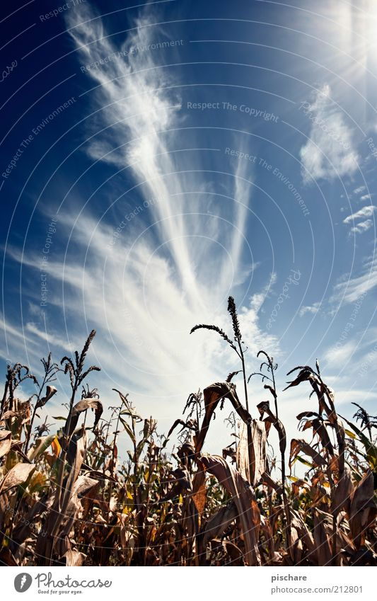 Kukuruz Natur schön Himmel blau Wolken Ferne Feld Blauer Himmel Mais Nutzpflanze