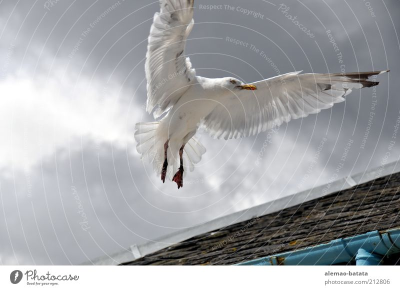 scottish sea gull Wolken Tier grau Kraft Vogel elegant fliegen Dach Feder Flügel Wildtier Möwe Schweben Dachrinne Aktion ausbreiten