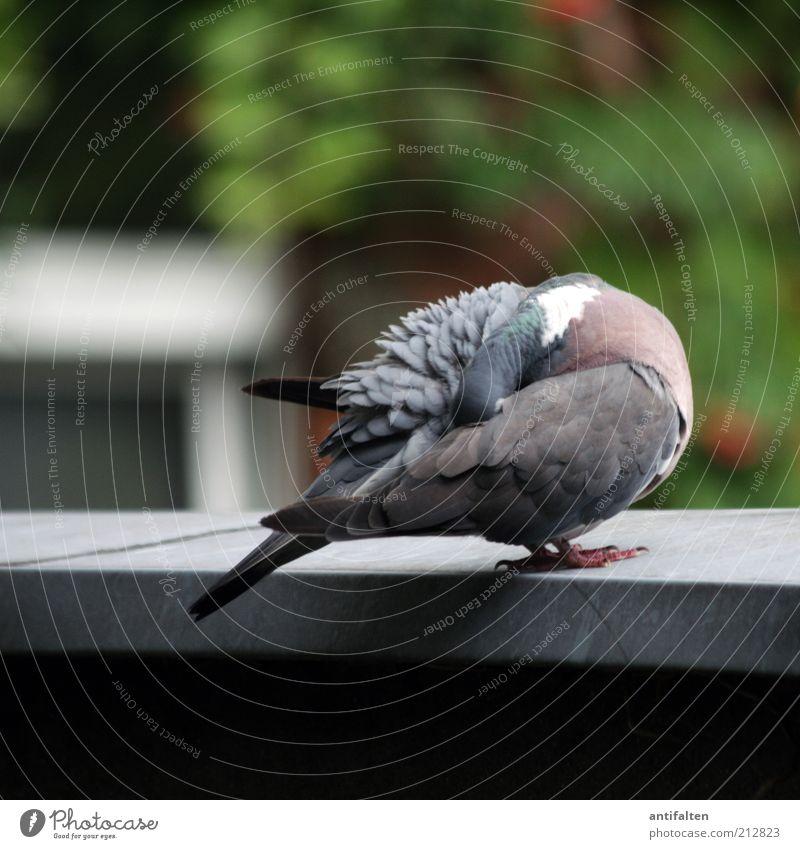 Kopflos Natur grün Sommer Tier grau Frühling sitzen außergewöhnlich Flügel Feder Sauberkeit verstecken Taube Krallen gefiedert Vogel