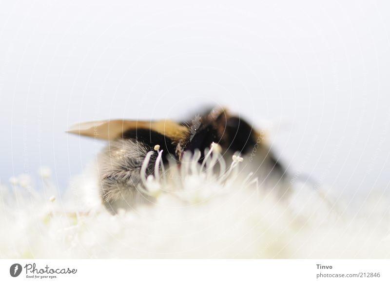 Bienenhimmel Blüte 1 Tier schwarz weiß Hummel pelzig Nektar Pollen zart weich hell himmlisch Ernährung hell-blau Farbfoto Außenaufnahme Makroaufnahme