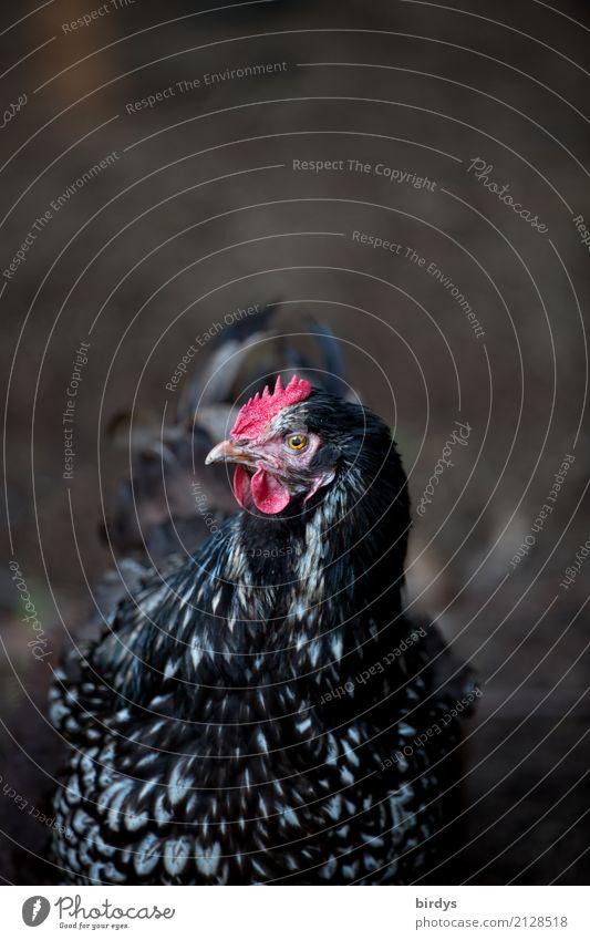 Frischluftfreilandhuhn weiß rot Tier schwarz Leben Gesundheit feminin Zufriedenheit ästhetisch einzigartig Lebensfreude beobachten Freundlichkeit Neugier