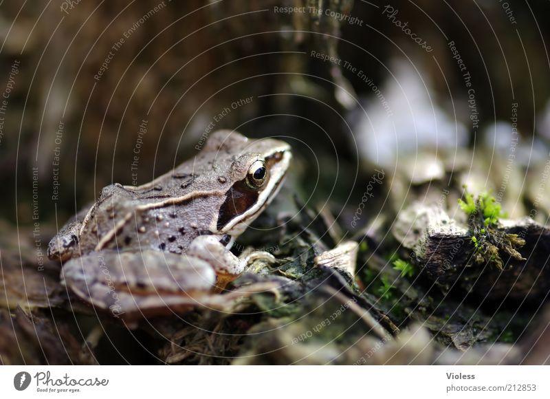 Froschperspektive Natur Tier braun gold bräunlich Froschauge