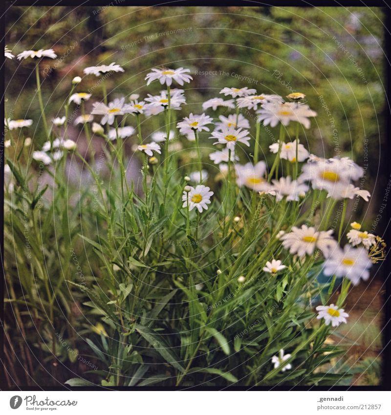 Es grünt so grün Natur schön Pflanze Sommer Blume Umwelt Blüte Frühling natürlich Wachstum viele Blühend Margerite nachhaltig Grünpflanze