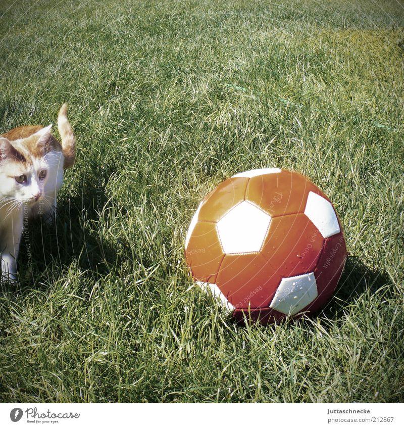 Nach der WM ist vor der WM Ballsport Fußball Tier Haustier Katze 1 Tierjunges Spielen toben lustig grün rot Farbfoto Gedeckte Farben Außenaufnahme Menschenleer