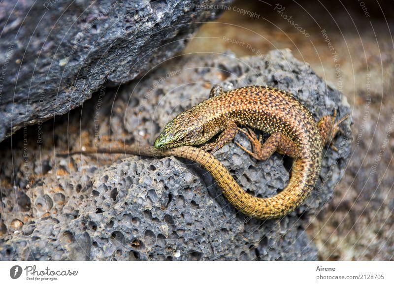Wohnung mit Sonnenterrasse (Ringelei I) Lava Tier Echte Eidechsen 1 Stein Kreis gold grau Vertrauen ruhig Farbfoto Außenaufnahme Menschenleer