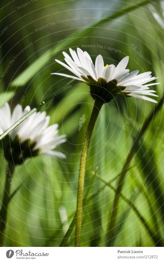 zurück zum Frühling Umwelt Natur Pflanze Erde Schönes Wetter Blume Gras Blüte Grünpflanze Wildpflanze Wiese Gänseblümchen asteracea weiß grün schön ruhig