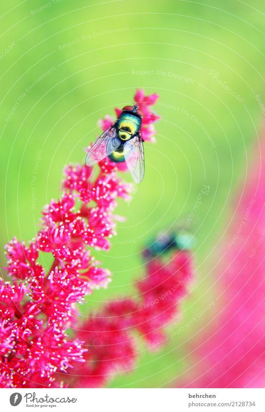 glanzstück Natur Pflanze Tier Sommer Blume Blüte Garten Park Wiese Fliege Flügel 1 beobachten Blühend Duft fliegen Fressen schön grün rosa rot glänzend Farbfoto