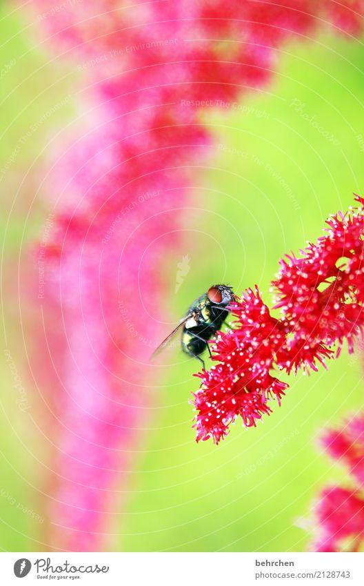 fliegengewicht Natur Pflanze Tier Sommer Schönes Wetter Blume Blüte Garten Park Wiese Wildtier Fliege Tiergesicht Flügel Auge 1 beobachten Blühend Duft Fressen