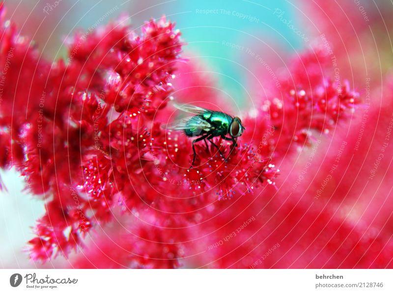 fliege auf spiere Natur Pflanze Sommer schön Blume rot Tier Blüte Wiese Garten fliegen Park leuchten Wachstum Fliege Schönes Wetter