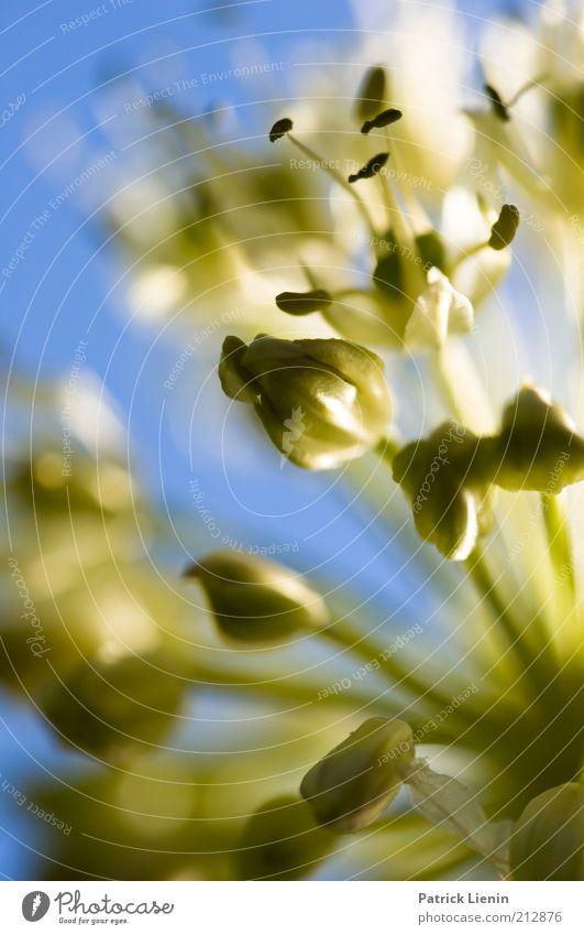 wie schön war die Zeit Natur grün blau Pflanze Blüte Frühling Stimmung hell Umwelt zart filigran Unschärfe Wildpflanze Birnenblüten