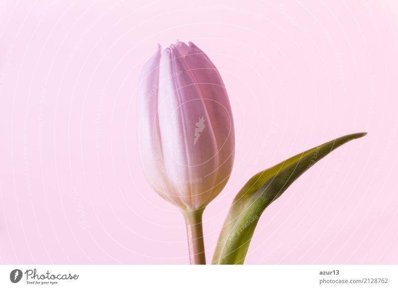 Einzelne rosa Blume Tulpe Blüte im Frühling Symbol der Liebe Natur Pflanze schön grün weiß Erotik Einsamkeit Blatt ruhig Freude Wärme Lifestyle Umwelt