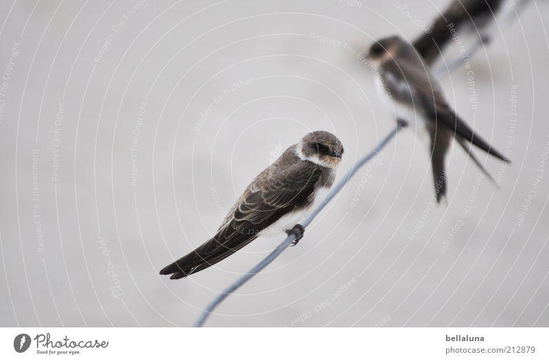 Uferschwalben Natur ruhig Tier Zufriedenheit Vogel Tierpaar sitzen Feder Tiergesicht Flügel Wildtier stagnierend Krallen gefiedert Schwalben