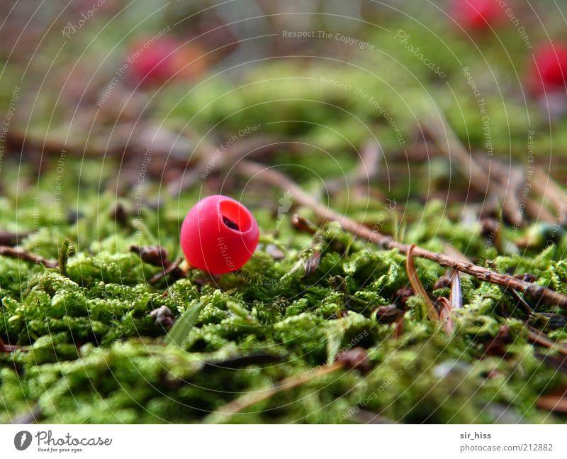 Vaccinium psychedelis Natur grün Pflanze rot Moos Beeren einzeln Waldboden fruchtig Makroaufnahme leuchtende Farben