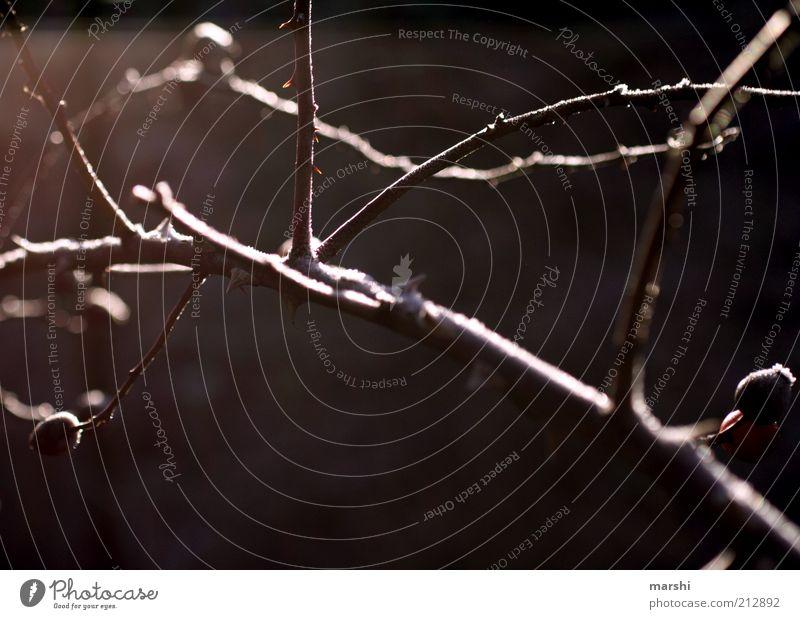 dornig Natur Pflanze Winter Herbst braun Zweig kahl Dorn laublos
