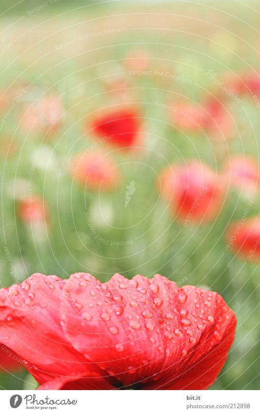 Mo(h)ntag Natur Pflanze Wasser Wassertropfen Sommer Schönes Wetter Blume Gras Blüte Wiese Feld rot Wiesenblume Mohnblüte Mohnfeld Rauschmittel Wachstum Umwelt