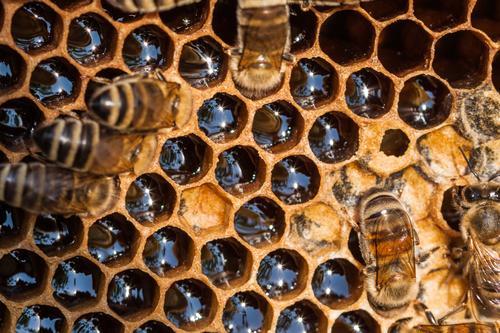 Honigwabe Dessert Süßwaren Marmelade Büffet Brunch Bioprodukte Vegetarische Ernährung Nutztier Wildtier Biene Tiergruppe Schwarm Arbeit & Erwerbstätigkeit