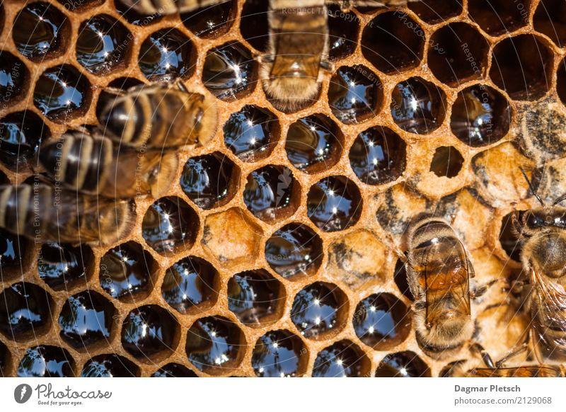Honigwabe Natur Wärme gelb Gesundheit Glück außergewöhnlich Zusammensein Arbeit & Erwerbstätigkeit wild gold Kraft Wildtier süß Tiergruppe Süßwaren Bioprodukte