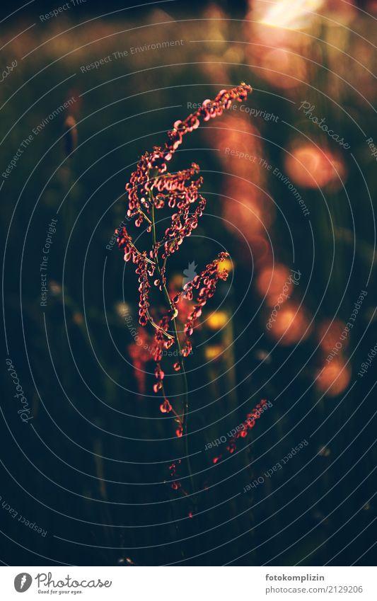 licht pflanze Natur Pflanze Sommer rot Einsamkeit ruhig Umwelt Frühling Wiese Stimmung leuchten glänzend Wachstum gold Blühend einzigartig