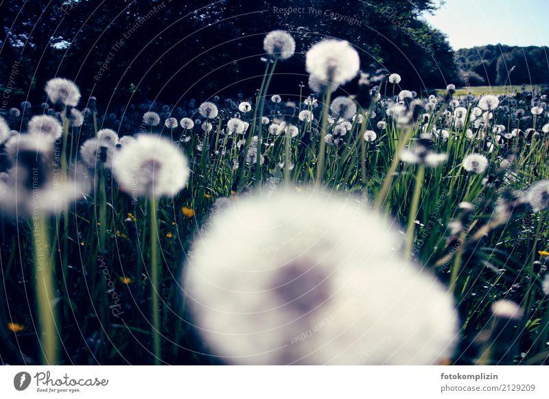 Löwenzahn - Pusteblumen - Wiese aus Froschperspektive Löwenzahnfeld pusteblumen Pflanze Vergänglichkeit vergänglich leicht traumhaft leuchten Fröhlichkeit
