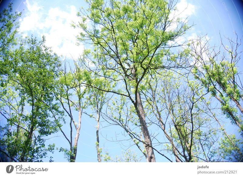 Eschentriebsterben Himmel Natur blau grün Baum Pflanze Sommer Wald Umwelt Tod Frühling Schönes Wetter Verfall Baumstamm Baumkrone aufwärts