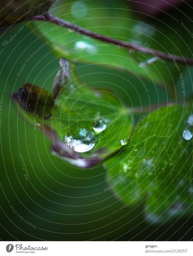 Beieinander Natur Pflanze Sommer grün Wasser Blatt glänzend mehrere frisch Wassertropfen Klima Urelemente Blattadern Nutzpflanze Grünpflanze Topfpflanze