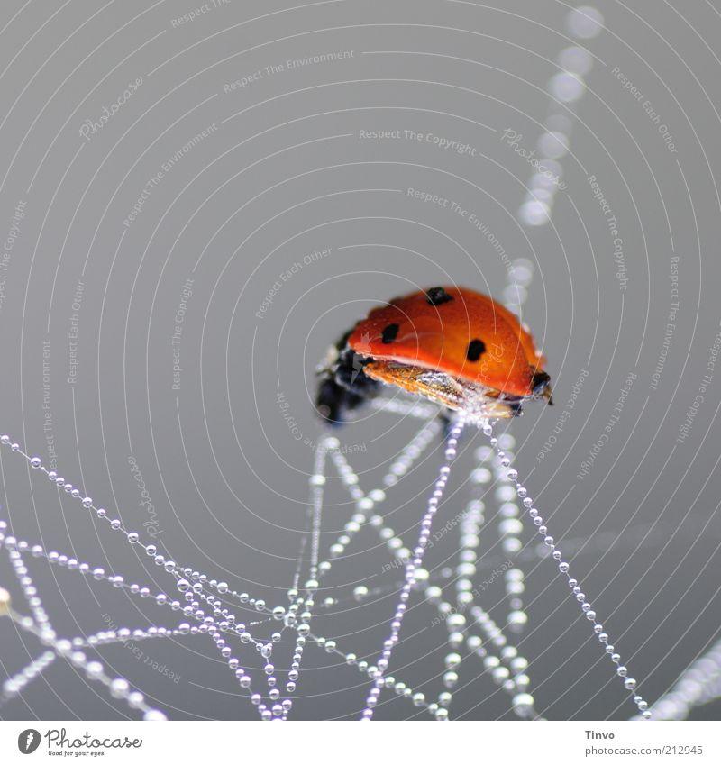 fin 2 Einsamkeit Tier Tod Wassertropfen Tropfen Netz Tau hängen gefangen chaotisch Marienkäfer Textfreiraum links Käfer Spinnennetz Opfer gepunktet
