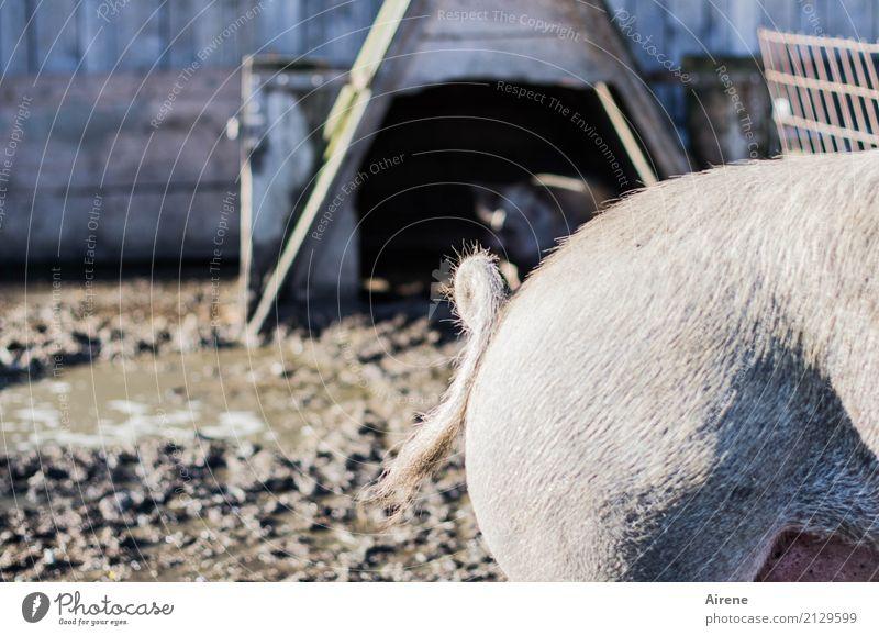 Ringelei II Natur blau Tier natürlich Glück rosa Zufriedenheit frei Landwirtschaft Bauernhof Haustier Hütte Hinterteil Geborgenheit Schwanz Forstwirtschaft
