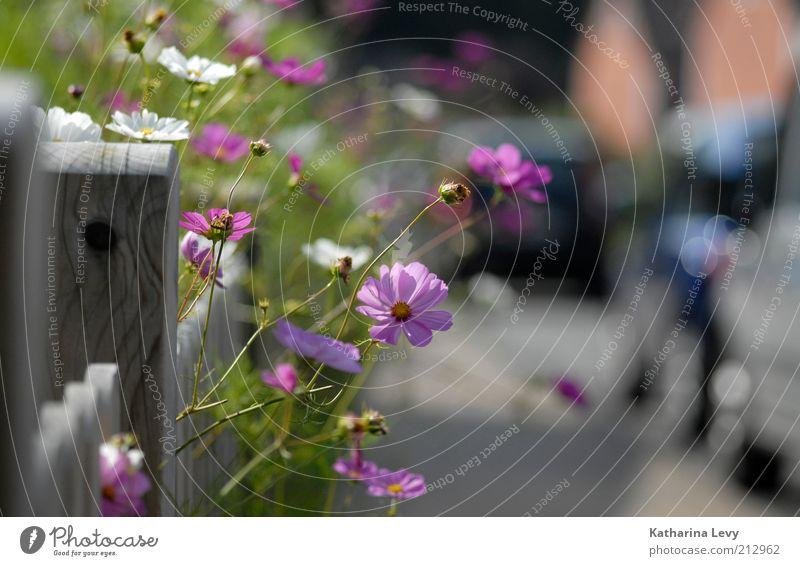 Vorgarten Idyll weiß grün schön Pflanze Sommer Blume Straße Wege & Pfade Wärme Garten Glück Blüte PKW Wachstum Idylle violett