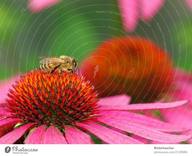 Bienchen Biene Honigbiene Roter Sonnenhut Insekt Fluginsekt Blüte Blume Sommerblumen Blütenstauden Korbblütengewächs Blumenstrauß Blütenblatt Pollen Nektar