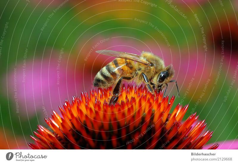 Kleine Honigbiene Biene Roter Sonnenhut Insekt Fluginsekt Blüte Blume Sommerblumen Blütenstauden Korbblütengewächs Blumenstrauß Blütenblatt Pollen Nektar orange