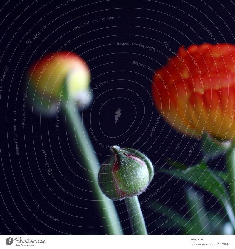 Ranunkelköpfe Pflanze Blume Blüte Grünpflanze gelb schwarz Blütenknospen Duft schön Blühend Blütenblatt Farbfoto Außenaufnahme Unschärfe rund elegant exotisch