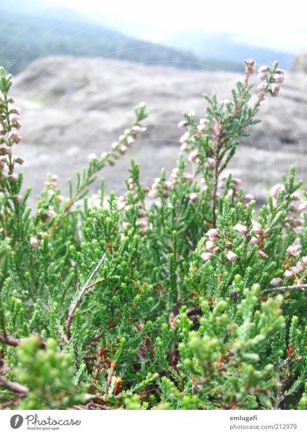 GRÜÜNN Kräuter & Gewürze elegant Freude schön harmonisch Zufriedenheit Erholung ruhig Duft Leben Natur Erde Sommer Wind Gras Sträucher Grünpflanze Felsen Gipfel