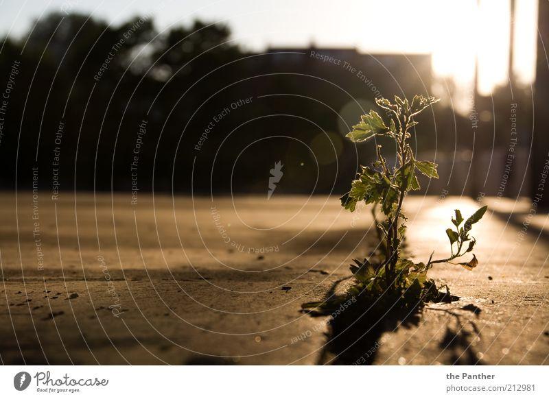 urbanen Ursprung Pflanze Sonnenaufgang Sonnenuntergang Sommer Blume Wildpflanze ästhetisch einfach einzigartig Stadt braun gelb grau schwarz Einsamkeit Freiheit