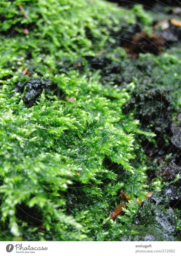moos ruhig Duft Sommer Natur Erde Moos Grünpflanze grün Farbfoto Außenaufnahme Nahaufnahme Strukturen & Formen Tag Waldboden Bodendecker Biomasse